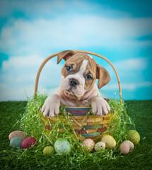 Wall Mural - Easter Bulldog Puppy