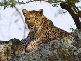 Fototapete - Leopard on the Tree