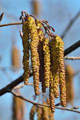 Spring. Alder catkins closeup