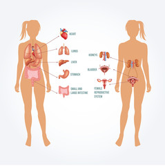 Vector anatomy illustration