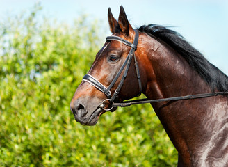 Wall Mural - Portrait of a dark bay horse on a background of green grass