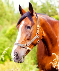 Wall Mural - Portrait of a light brown horse in the grass