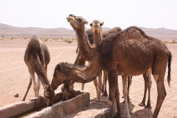 Maroc, chameaux 9