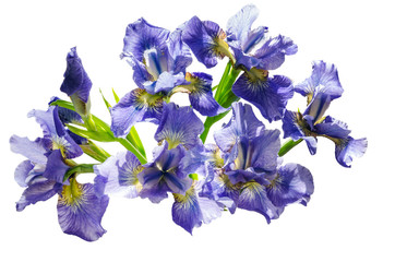 Bouquet blueflag or iris flower Isolated on white background