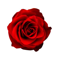 Realistic Red Rose High Quality Vector Illustration