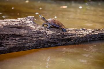 Yellow-spotted Amazon River Turtle, Podocnemys unifilis Peru