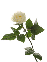 fragrant white rose
