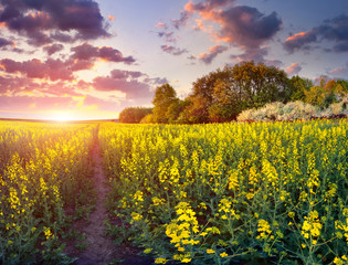 Colorful spring runrise in the field of yellow flowers.
