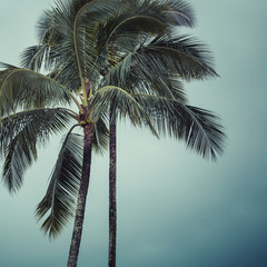 Coconut palm in Hawaii, USA.