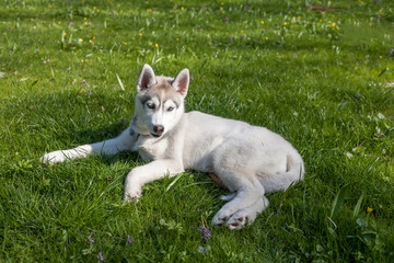 Portrait of puppy Siberian Husky