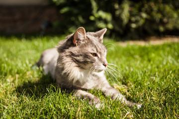 Norwegian cat in nature