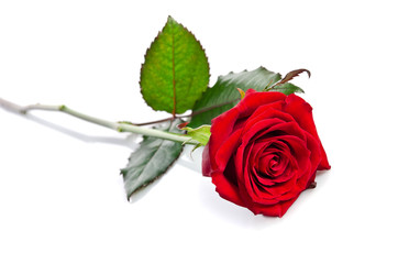 beautiful single red rose lying down on a white background