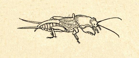Mole cricket (Gryllotalpidae)