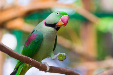Green parrot on a branch with a grape in his paw