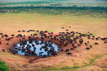 Big herd ob african buffalo in water hole