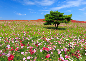 Wall Mural - Mountain, Cosmos and Kochia at Hitachi Seaside Park in autumn wi