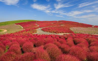 Fototapete - Mountain, Cosmos and Kochia at Hitachi Seaside Park in autumn wi