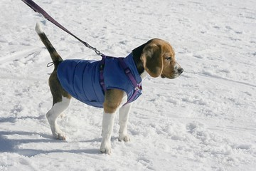 Protect your dog from cold with winter clothes, a dog in snow