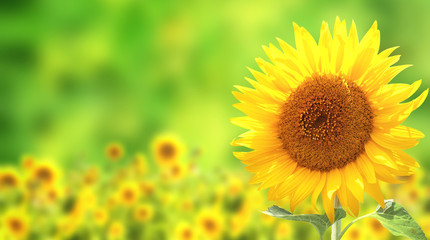Fototapete - Sunflowers on green background