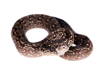 Leopard Argentine Boa on white background.