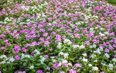 Pink and white flowers in park