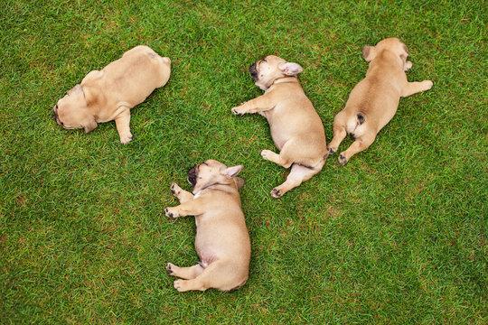 little sleeping French bulldog puppies