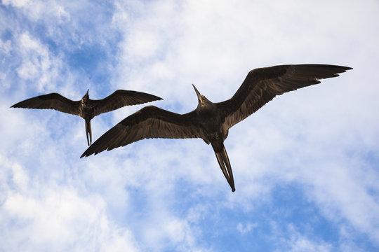 A magnificent frigatebird (Fregata magnificens) flies