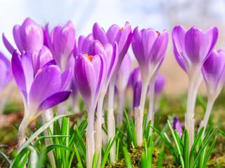 Beautiful spring blooming purple crocus flowers