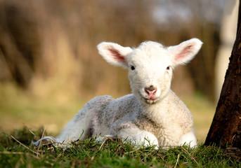 Fototapete - Schafhaltung,neugeborenes Lamm liegt am Baumstamm