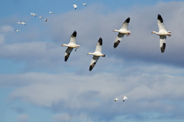 Four Snow Geese Flying in a Cloudy Sky
