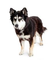 Angry Alaskan Malamute Mix Dog