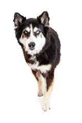 Large Breed Protective Dog Looking Forward