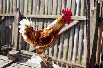 Rooster crowing on a pillar against a fence