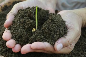 Corn seedlings hand full of soil
