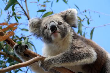 Koala bear on Raymond Island