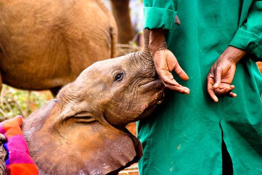 Elephant calf sucking animal keepers hand, Nairobi, Kenya