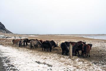 Gruppo di Cavalli in Islanda