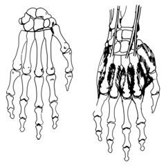 Skeleton of the hand and fingers for usual medicine dictionary