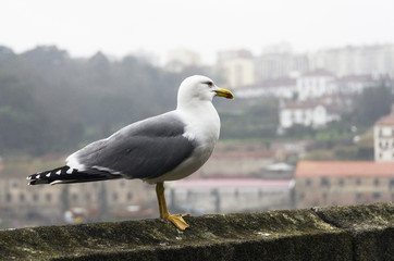 Seagull under the rain