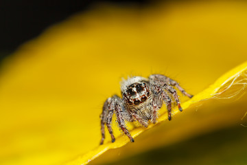 jumper spider on yello leaf