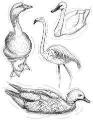 Water bird sketches