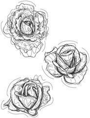Rose sketch variations