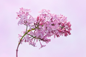 Lilac inflorescence