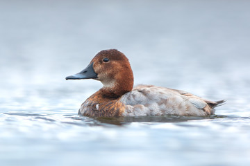 Common pochard. Female