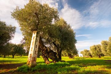 Puglia Olivo Secolare