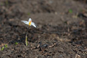 Wildflower shaffron on the burnt ground