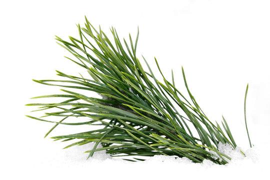 Green wet pine branch over white