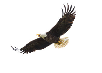 Wall Murals Eagle American Bald Eagle in Flight