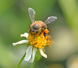 Bee on flower background blur