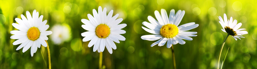 Photo sur Aluminium Marguerites White daisy flowers .